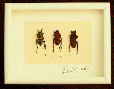Taxidermy -High end Art frame with real insects : Trio longhornbeetles