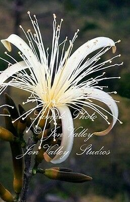 Bombacopsis quinata 7 Seeds Forest Passion 'pochote' Rare Tropical Tree