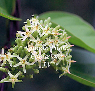 Parsonsia alboflavescens 8 Seeds Spiral Vined Silk Pod Plant Rare Tropical