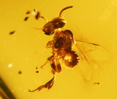 Perfect extinct Stingless Bee authentic clear Dominican Amber gemstone