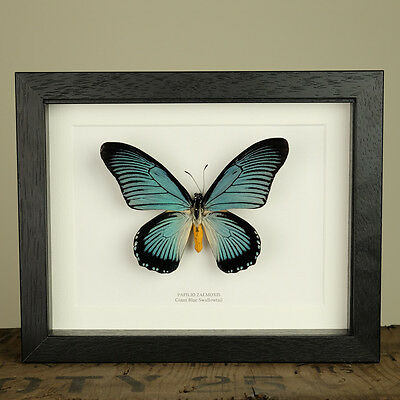 Giant Blue Swallowtail Butterfly in Box Frame (Papilio zalmoxis)