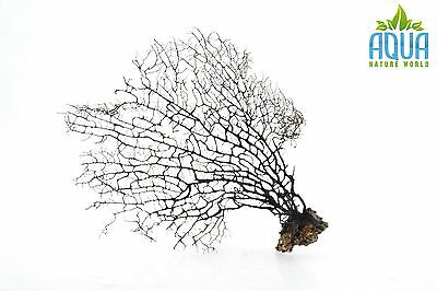 (A-5699) Real Atlantic Dried Coral  (Ornament Fish Tank,red moor,bogwood) Size M