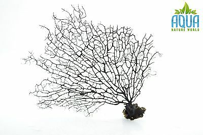 (A-5710) Real Atlantic Dried Coral  (Ornament Fish Tank,red moor,bogwood) Size M