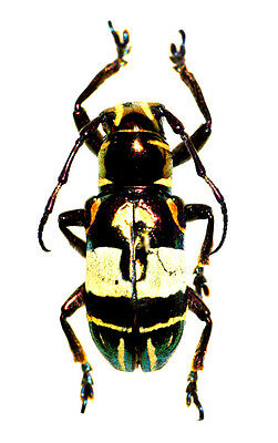 Taxidermy - real papered insects : Cerambycidae : Acronia dinagatensis  rare !