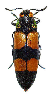 Taxidermy - real papered insects : Buprestidae :  Agelia petelli
