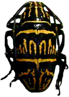 Taxidermy - real papered insects : Cerambycidae : Chloeromorpha mystica