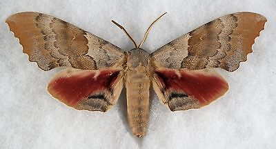 """Insect/Moth/ Moth ssp. - Female 5"""""""