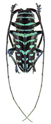 Taxidermy - real papered insects : Cerambycidae : Sternotomis virescens