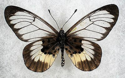 """Insect/Butterfly/ Butterfly ssp. - Female 2.5"""" Unusual Translusent"""