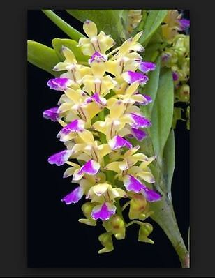 Orchid. Collectable. Aerides houlletiana. Seedling species.