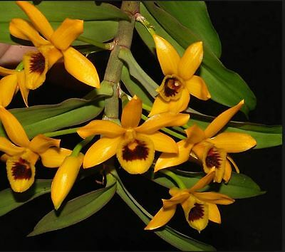 Orchid. Collectable. Dendrobiumher ocreatum. Seedling species.