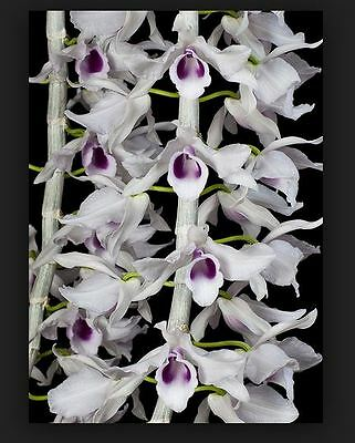 Orchid. Collectable. Dendrobium anosmum var huttonii. Seedling species.