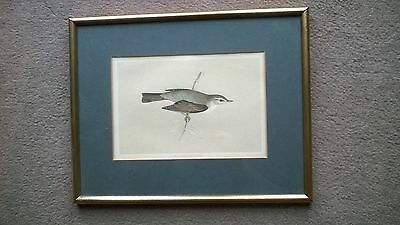 Antique Morris Print in Glass Frame-Willow Warbler