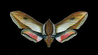 French Die Cut BALANCING Butterfly Moth 1910 ~ PARIS Latest!