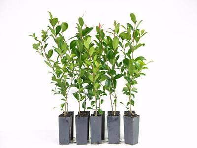 Syzygium select Lillypilly x 100 plants Fast Growing Native Great Hedge - 3m!