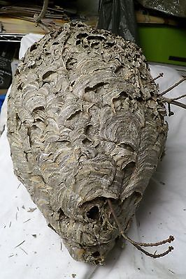 1 PAPER Wasp Hornet NEST  School Display TAXIDERMY Decor  Big 16 LONG 34 ROUND