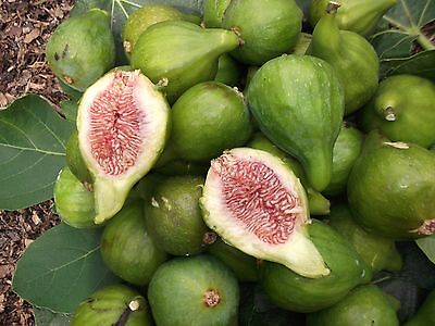 Green Fig Tree Large Sweet Red Flesh  4 Cuttings + 2 Free