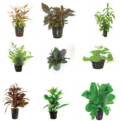 Assortment Nr 4 - Aquatic / Terrarium Plants 54 Pots