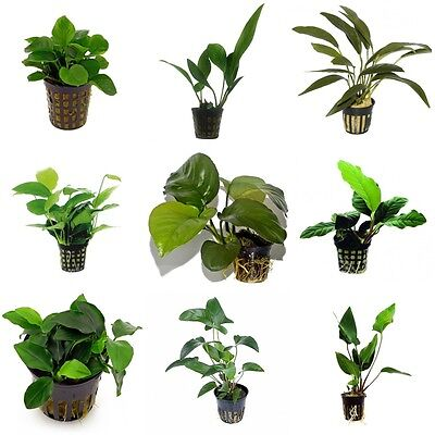 Anubias Mix - Nursery Choice (S / M / L Sizes, Total 54 x 5 cm Pots)