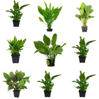 Echinodorus Mother Plant Mix - Nursery Choice (Total 12 Large Pots)