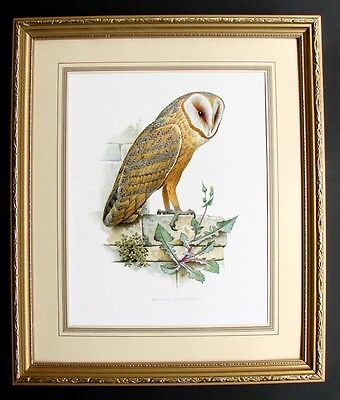 Quality Vintage Framed And Mounted Unsigned Colour  Print Of A British Barn Owl