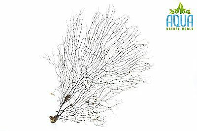 (A-4436) Real Atlantic Dried Coral  (Ornament Fish Tank,red moor,bogwood) Size M