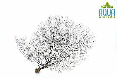 (A-4479) Real Atlantic Dried Coral (Ornament Fish Tank,red moor,bogwood) Size L