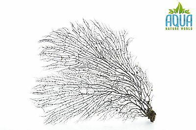 (A-5741) Real Atlantic Dried Coral  (Ornament Fish Tank,red moor,bogwood) Size L