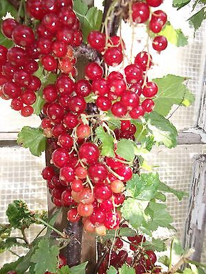 1 Heavy Cropper Red Currant Bare Rooted Plant  + 1 Free Bare Rooted Gooseberry