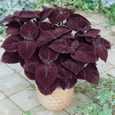 Coleus Giant Exhibition Palisandra Seeds- Rare
