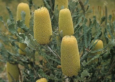 Banksia pilostylis in 50mm forestry tube native plant