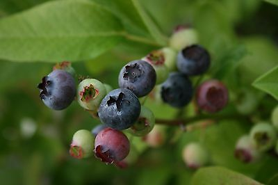 Blueberry Bush collection - 4 plants, different & named.