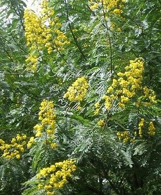 Cassia siamea Kassod 15 Tropical Tree seeds Sunny Yellow Blooms Popcorn Scented