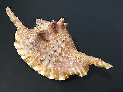 Lobatus gallus, Recife, Brasil, 142mm, F+, VERY NICE SHELL! LARGE!