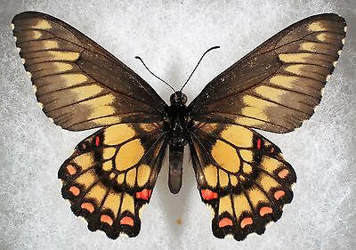 "Insect/Butterfly/ Eurytides corethrus - Male 2.5"" Type II"