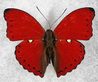 Insect/Butterfly/ Butterfly ssp. - Male 2""