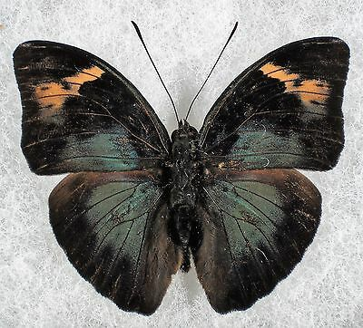 Insect/Butterfly/ Butterfly ssp. - Male 2 1/4""