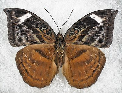 Insect/Butterfly/ Butterfly ssp. - Female 3""