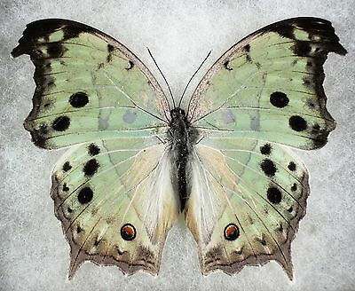 Insect/Butterfly/ Butterfly ssp. - Female 3.5""