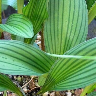 Rare, new Drimiopsis bulb! - Spectactular striped leaves!