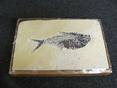 Back to Earth Series DIPLOMYSTUS Fish Fossil 50 Million Yrs from WYOMING