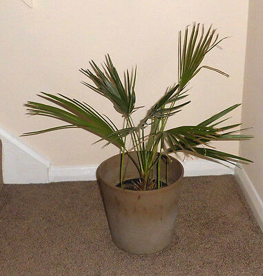 Date Palm Tree Indoor Plant with Pot
