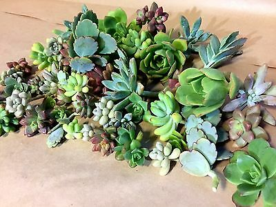 20 Mixed Succulent Cuttings - SMALL SIZE