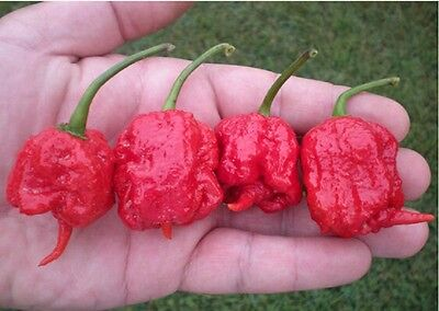 100 x Super Hot Rare Carolina Reaper Chilli Pepper Seeds Organic UK Seller