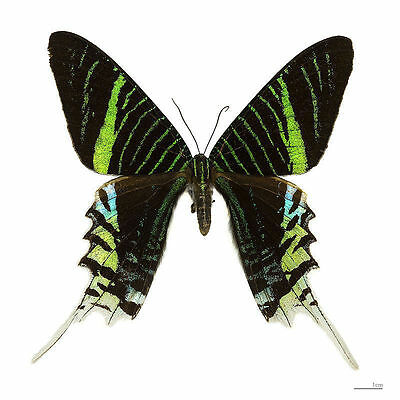 Taxidermy - real papered insects : Uranidae : Urania leilus Peru