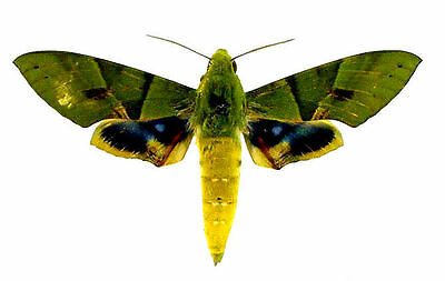 Taxidermy - real papered insects : Sphingidae : Eumorpha labruscae