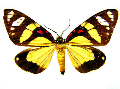 Taxidermy - real papered insects : Arctidae : Sphaeromachia gaumera !!!!