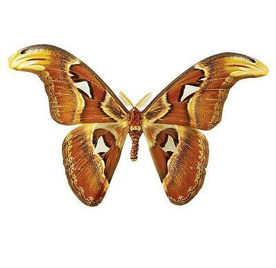 Taxidermy - real papered insects : Saturnidae : Attacus atlas PAIR