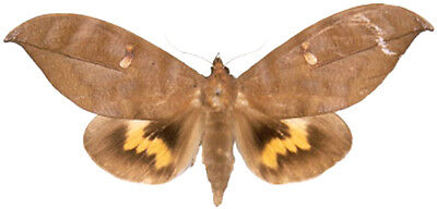 Taxidermy - real papered insects : Noctuoidae : Phyllodes eyndhovii