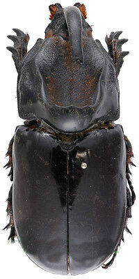 Taxidermy - real papered insects : Dynastidae : Oryctes latecavatus 55mm